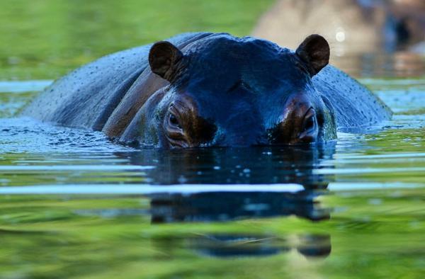 Os hipopótamos de Pablo Escobar (Foto Infobae)